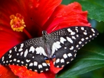Butterfly on Bright Red Hibiscus
