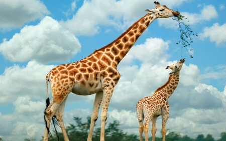 Giraffe Mother And Baby Giraffes Animals Background Wallpapers