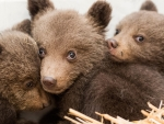 3 lost bear cubs