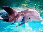 Cute Baby Dolphin With Mother