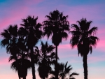 Silhouette of Palms at Twilight