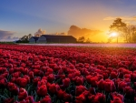 Tulips Field at Sunset