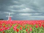 Cloudy Tulips Field