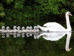 Swans  With Babies