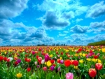 Spring Tulips Field