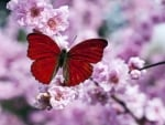 Red Butterfly On Plum Blossom Branch