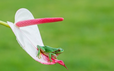 Frog - frog, broasca, green, flower, calla, amphibian, white, pink