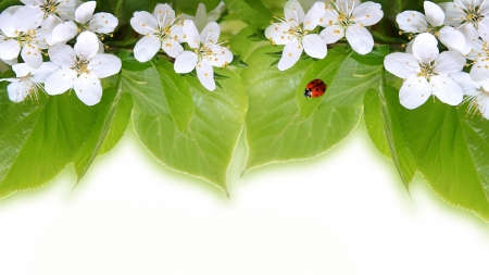 Spring Blooming - sakura, fresh, spring, apple blossoms, cherry blossoms, ladybug, leaves, flowers, Firefox Persona theme