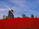 Windmill at the Flowers Field
