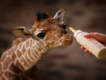 Smallest  Giraffe