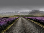 Lupines Iceland Road