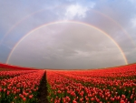 Rainbow Above Tulips Field