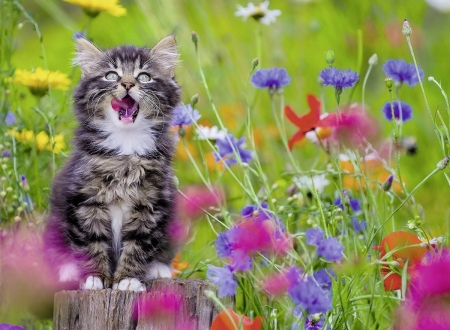 Kitty in Summer - cornflowers, poppies, flowers, blossoms, cat, kitten, meadow