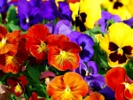 Bright Pansies