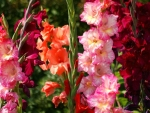 Gladiolus Bright Flowers