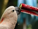 Thirsty Cockatoo