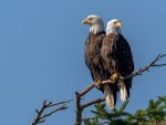 Couple of Bald Eagles