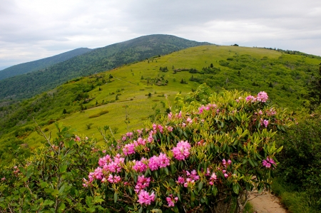 Rhododendron Mountains - usa, grass, mountains, rhododendron, flowers, nature, sky, bushes