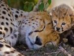Cheetah  Mother And Her Week Old Cub