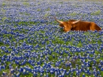Texas Cow Smelling Bluebonnet Flowers