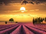 Sunset Over Lavender Field in Tuscany,Italy