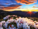 Blooming Rhododendrons Against the Sunrise