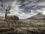 Highland Red Deer