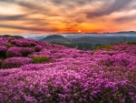 Blooming Mountain Hills on a Sunset