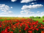 Poppies Surrounded by Green Field