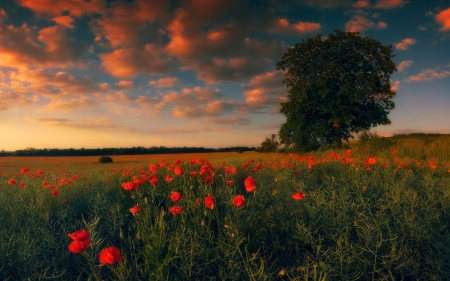 Summer Field with a Lonely Tree - nature, poppies, red, flowers, clouds, field, summer, tree