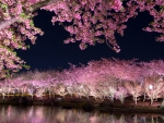 Blooming Sakura in the Night