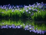 Blue Iris near the River and their Reflection