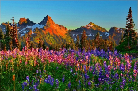 Spring in the Mountains - blossoms, flowers, snow, lupines