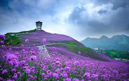 Verbena Field - Flowers, Buiild, Clouds, China, Verbena, Field, Sky