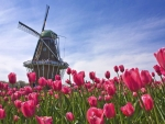 Mill in the Tulip Field (Holland)