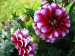 Dahlias flowers and Buds