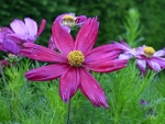 Cosmos After Rain