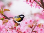 Titmouse Sits on Cherry Blossoms