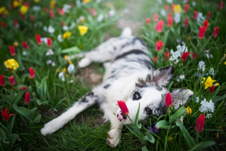 Dog Lies in the Middle of Spring Flowers - flowers, dog, animal, spring, garden