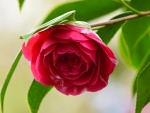 Bright Pink Camellia on a Blurred