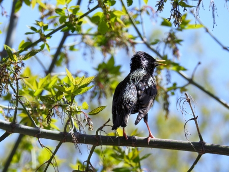 Pretty Starling - Bird, Tree, Animal, European Starling, Photography, Spring