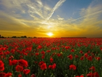 Orange Sunset Field With Red Poppies