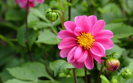 Pink flower - flower, nature, beautiful, pink
