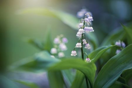 Lily of the valley - Flowers, Spring, Macro, Nature