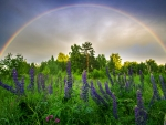 Lupine Thickets Against the Sky and Rainbow