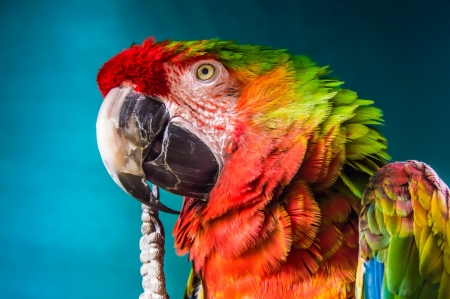 Rainbow Macaw - colourful, color, macaw, rainbow, parrot