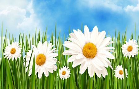 Margaritas Flower - cloud, green, margarita, grass, flower, white, sky, blue