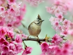 Bird Sits on a Cherry Blossom Branch