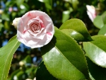 Blooming Camellia