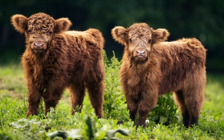 Brown Cows Cows Animals Background Wallpapers On Desktop Nexus Image 2379541